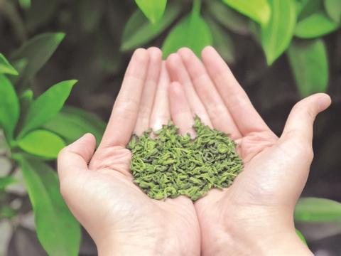 达州市明前茶大量上市 雀舌最贵2000元一斤